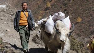 Jakkaravaan in Tsum Valley in Nepal