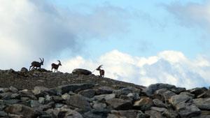 Steenbokken - Tour de Monte Rosa