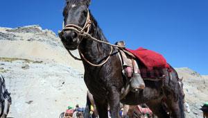 Ezeltjes en paarden op de Cuyoc-pas - Peru